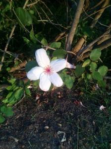 """""""Flower in Maui Pond"""" photo by Nina Fazzi"""