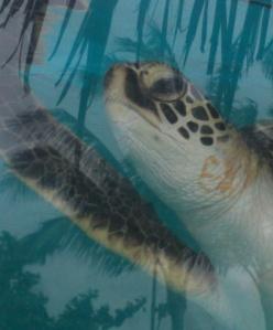 Maui Green Turtle photo by Nina Fazzi