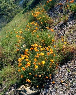 Folsom Wild Flowers1-small