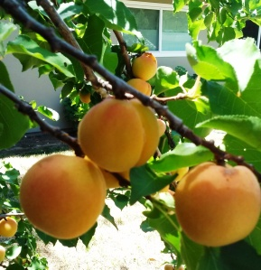 Fair Oaks Backyard-Nectarines-CindyFazziPic