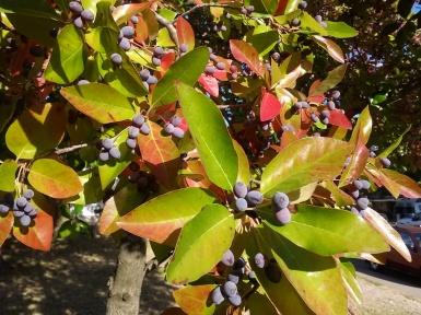 fairoaksfrontyard-berries-cindyfazzipic