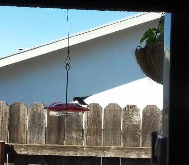 hummingbird-oct2016-cindyfazzipic