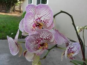 fairoaks-orchids-CindyFazziPic